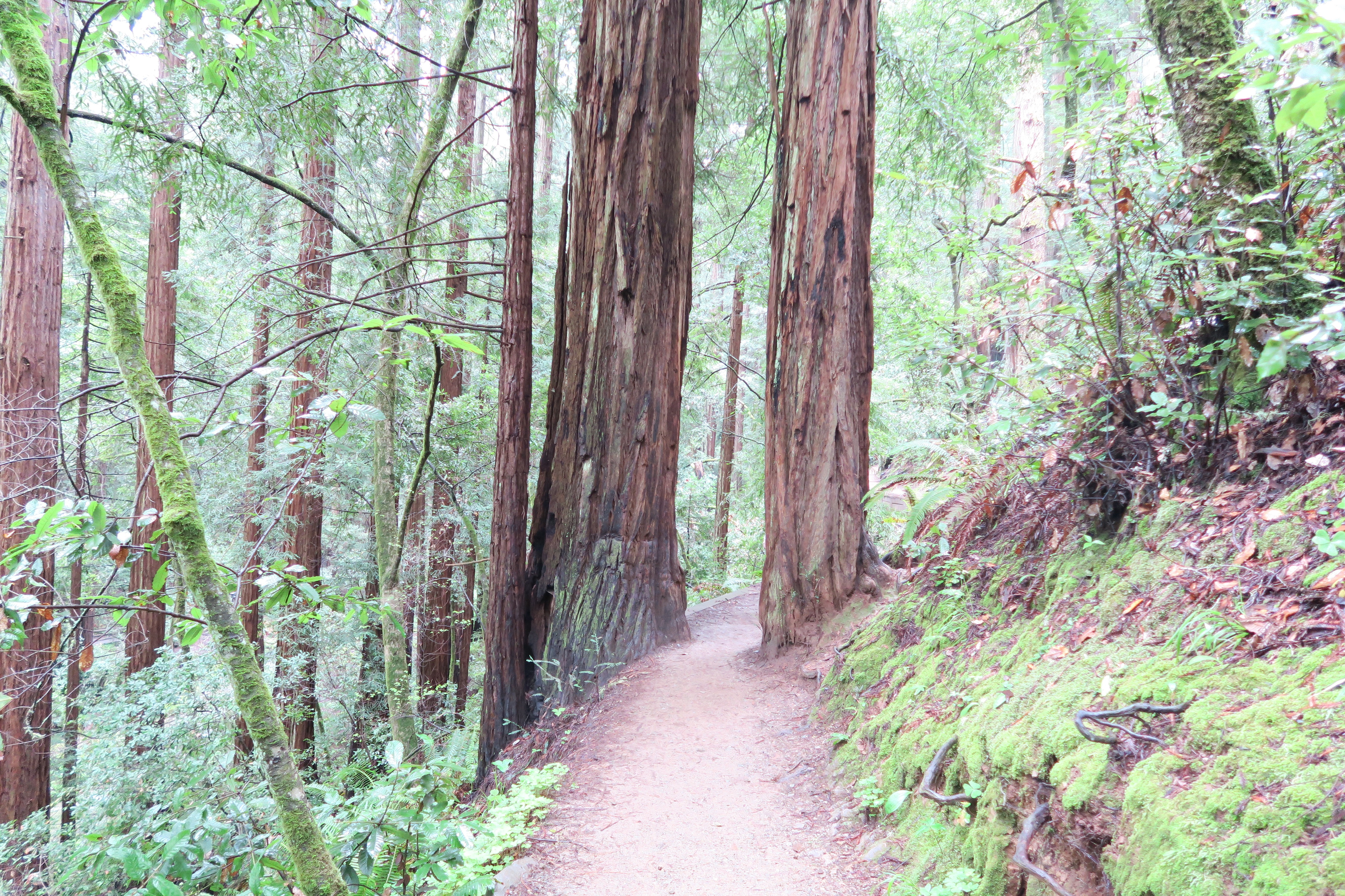 Redwood Trees in San Francisco